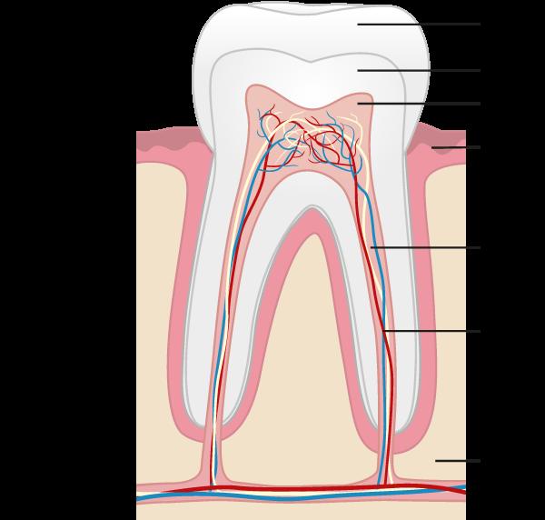 anatomie-dent-cabinet-dentaire-castres
